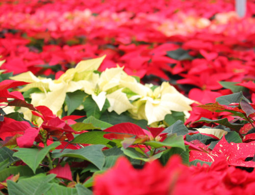 Parade of Poinsettias